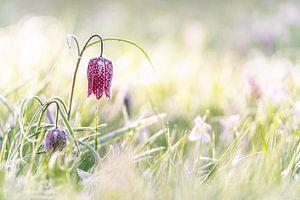 Paars geblokte kievitsbloem in het grasland met zonnig tegenlicht