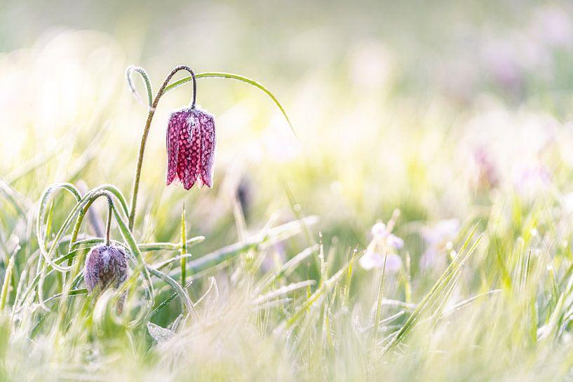 Paars geblokte kievitsbloem in het grasland met zonnig tegenlicht van Fotografiecor .nl