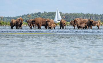 Wisenten zoeken verkoeling in het water van Marcel Klootwijk