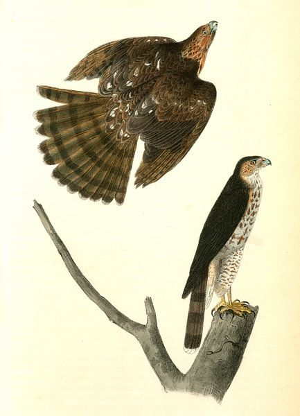 Havik, Sharp-shinned Hawk., Audubon, John James, 1785-1851 van Liszt Collection