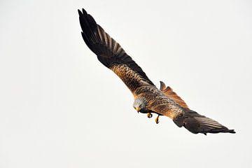 Red Kite ( Milvus milvus ), bird of prey van