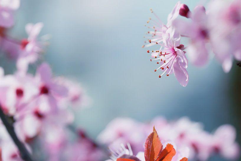 Meeldraden van de roze bloesem van Arja Schrijver Fotografie