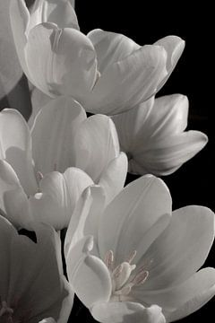 Weiße Tulpen von Marianna Pobedimova
