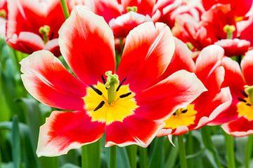 Rote mit weiße Tulpe im Blumenfeld mit Tulpen im Keukenhof von Ben Schonewille