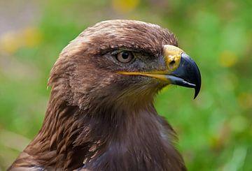 Adler von BVpix