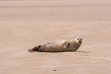 Robbe auf der Sandbank von Merijn Loch