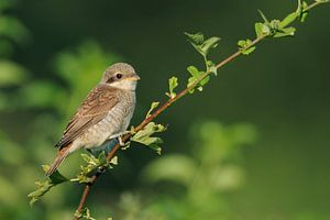 Red-backed Shrike ( Lanius collurio ) perching on an exposed branch of a hedge between green leaves,