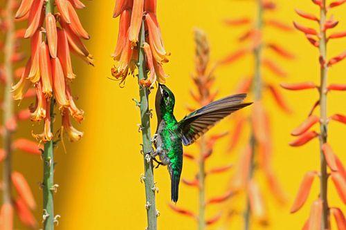 kolibrie en aloe van gea strucks