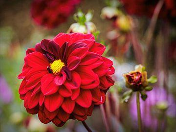 Rote Dahlie von Rob Boon