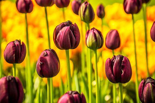 Paarse tulpen in het veld