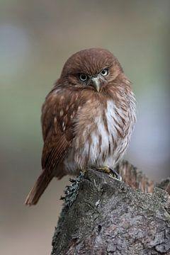Brasil-Sperlingskauz * Ferruginous Pygmy Owl *, niedlicher Blick von wunderbare Erde