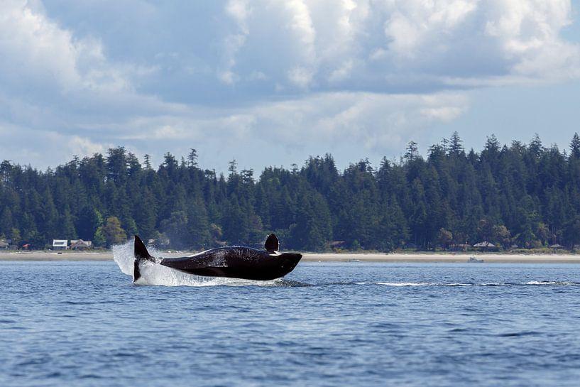 Orca whale sur Menno Schaefer