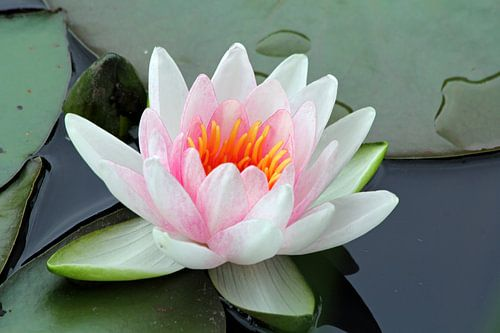 Wit roze waterlelie van