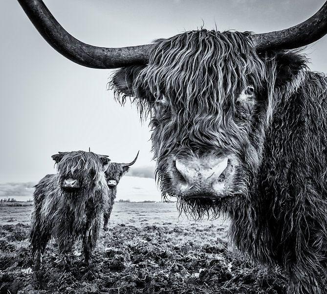 Schotse Hooglanders van Martijn van Dellen