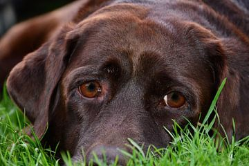 Relaxende chocolade bruine  11 jaar oude Labrador Retriever hond portret van J..M de Jong-Jansen