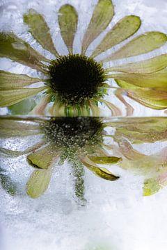 Echinacea in ijs 2 van Marc Heiligenstein