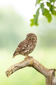 Screech owl, screech owl sur Gert Hilbink