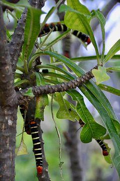 Prachtige frangipani rupsen op Bonaire van Myrthe Visser-Wind