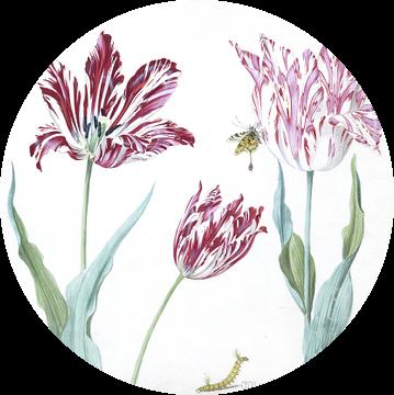 Drie tulpen met rups en vlinder, Jacob Marrel
