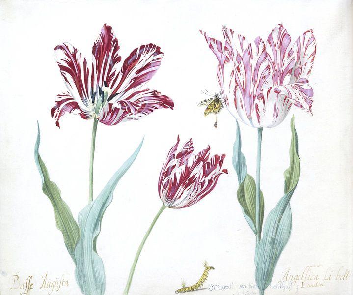 Drie tulpen met rups en vlinder, Jacob Marrel van Het Archief