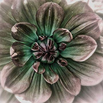 Herz eines rosa Dahlie von Rietje Bulthuis