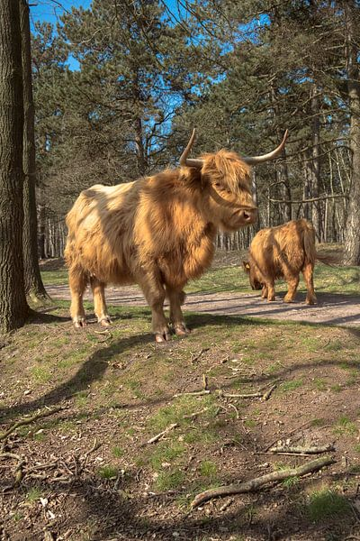 Schotse Hooglanders, huis ter heide van Freddie de Roeck