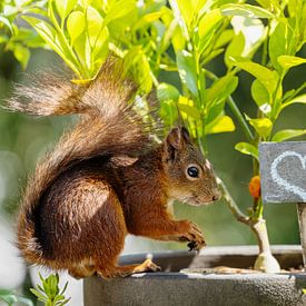 Eichhörnchen - Love von Meleah Fotografie