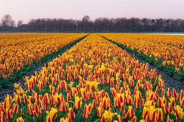 Tulpenveld in Noordwijk. van Richard Steenvoorden