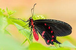 Page Vlinder Zwart & Rood