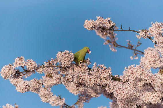 Halsbandparkiet met bloem in het voorjaar
