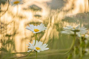 Gänseblümchen von Gonnie van de Schans