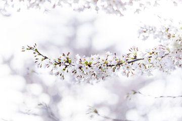 Witte Japanse sierkers van Patrick Verheij