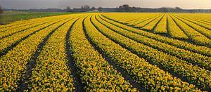bollenveld geel