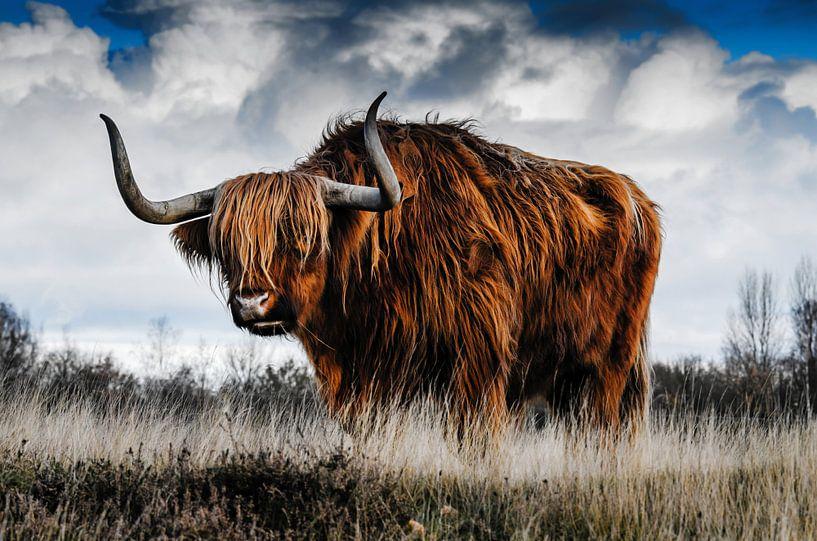 Hooglander koe uit Schotland in een open veld van Atelier Liesjes