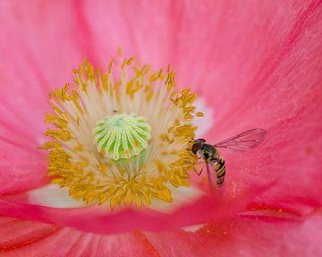Zweefvliegje op een roze wolk van Bernadette Soemers