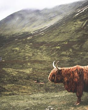 Schottischer Highlander in den schottischen Highlands von Arun Shanmugampillai