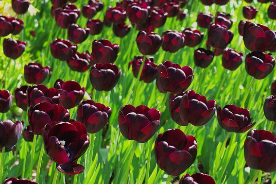 Dutch Black Tulips in the Keukenhof in LIsse