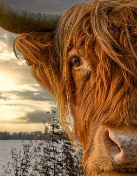 Close-up Schotse Hooglander van Foto Amsterdam / Peter Bartelings