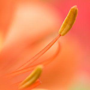 Oranje Bloem van Kimberly van Aalten