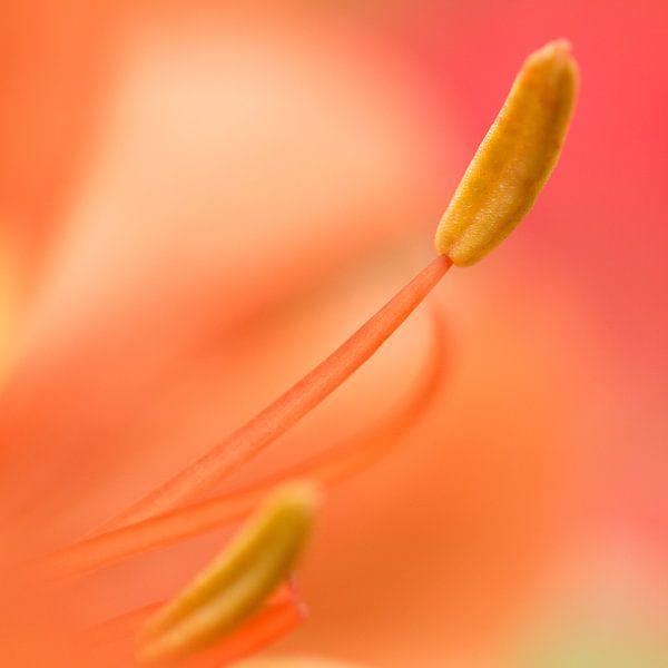 Orange flower von Kimberly van Aalten