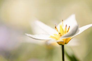 Mini-Tulpe soft im Frühling von KB Design & Photography (Karen Brouwer)