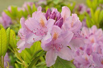 Eine Rhododendronblüte von Philipp Klassen