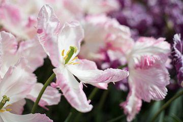 extravagante rosa Tulpe von Lisette van Gameren
