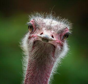 Struisvogel van Ingrid Ronde