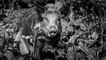 Wild Zwijn bossen Nederland van Randy van Domselaar
