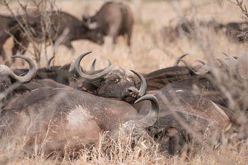 Buffels sur Riana Kooij