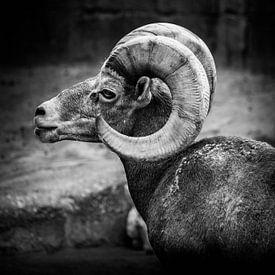 Tiere | Steinbock von Sylvana Portier