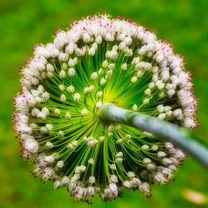Ronde bloem. Bloeiende prei van Hilda Weges