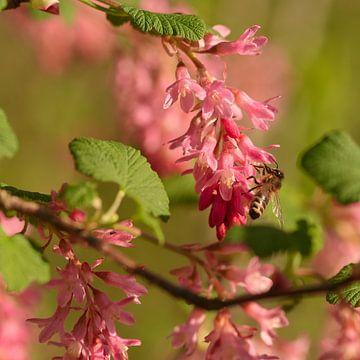 Voorjaar, een bij op een roze ribes struik van J..M de Jong-Jansen