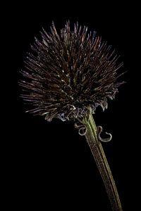 Upcycled Beauty - Rode Zonnehoed - Echinacea purpurea -